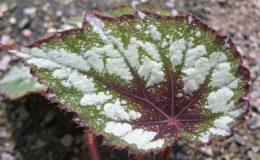 Begonia-T08-12