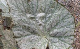 Begonia-T09-12