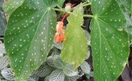 Begonia-T13-12
