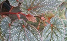 Begonia-T17-12