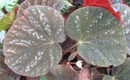 Begonia-T19-12