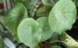 Begonia-T22-12