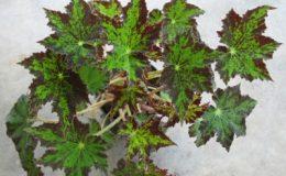 Begonia-T23-12