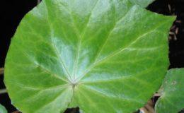 Begonia-T27-12