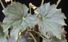 Begonia-T31-12