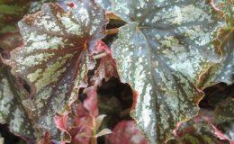 Begonia-T33-12-e1451240611271