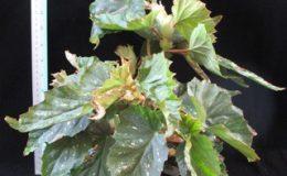 Begonia-T35-12-e1451240518207
