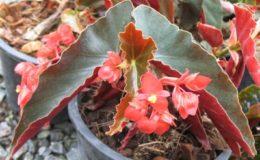 Begonia-T44-12