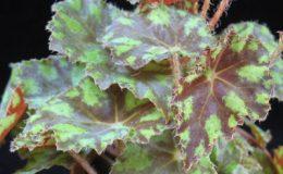Begonia-bowerae-12-