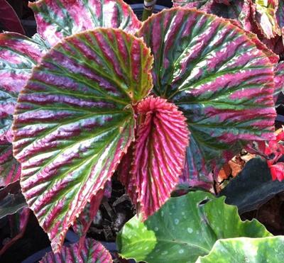 Begonia-brevirimosaT53-12