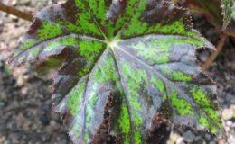 Begonia-cv-CleopatraT07-12