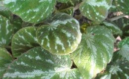 Begonia-imperialis-12