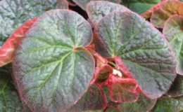 Begonia-thelmae-var-major-12