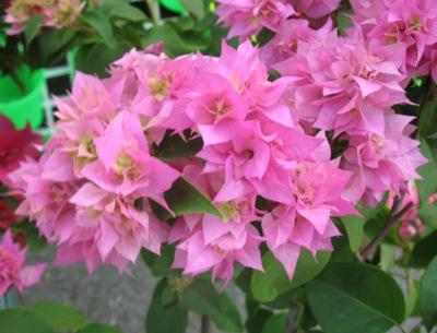 Bougainvillea-Double-Pink-16