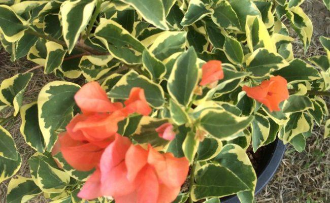 Bougainvillea-Orange-Ice-variegated-20