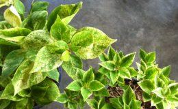 Bougainvillea-Pixie-Queen-variegata-Giant-leaf-30