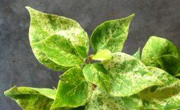 Bougainvillea-Pixie-Queen-variegata-Giant-leaf-301