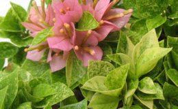 Bougainvillea-Sunset-Pixie-variegated-23