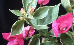 Bougainvillea-Thong-Chai-Red-variegated-900-2