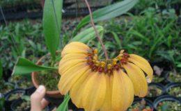 Bulbophyllum-mastersianum-30
