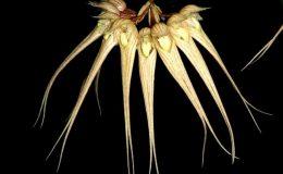 Bulbophyllum-sanguineopunctatum-