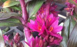 Dendrobium-Hibiki-bracteosum-x-laevifolium-Japanese-cultivar-40