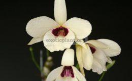 Dendrobium-albosanguineum