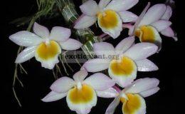 Dendrobium-crepidatum