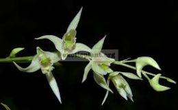 Dendrobium-eriiflorum