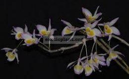 Dendrobium-gratiosissimum