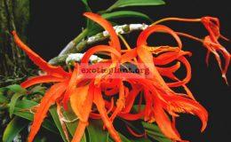 Dendrobium-lamyaiae