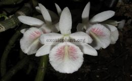 Dendrobium-linumsyn._polyanthum