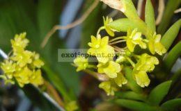 Dendrobium-mannii