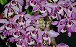 Dendrobium-parishii