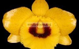 Dendrobium-suavissimum