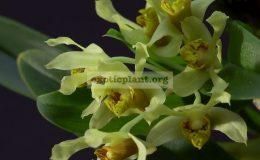 Dendrobium-venustum