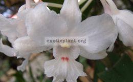 Dendrobium-virgineum
