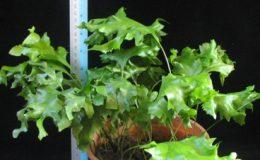 Drynaria-sp.T01wavy-leaf-30