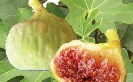 Fícus-cárica-cv-Osborn-35-некрупные-бронзового-цвета-плоды-мякоть-цвета-клубники-вкус-сладкий-и-насыщенный