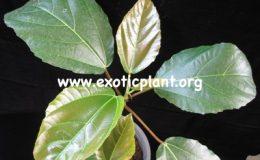 Ficus-auriculata-35-