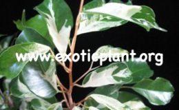 Ficus-benjamina-Curly-24