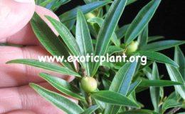 Ficus-microcarpa-Dwarf-Australia-40-