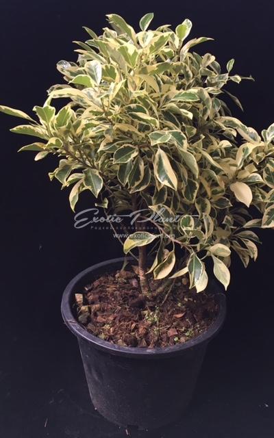 Ficus microcarpa albomarginata (Compact)/ Фикус микрокарпа альбомаргината, компактная форма