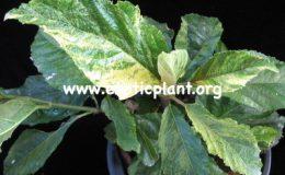 Ficus-nota-yellow-form-75-
