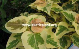 Ficus-rumphii-cream-26-