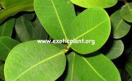 Ficus-sp.T05-Thailand-20
