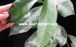 Ficus-sp.T19-Southern-Thailand-30