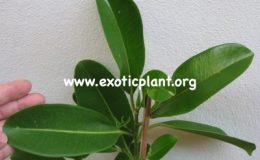 Ficus-sp.T27-26