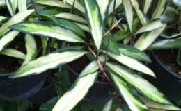 Hoya-kentiana-variegated-45