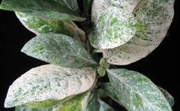 Ixora-finlaysonii-variegata-30-